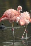 Чилийский фламинго. стоковое изображение rf