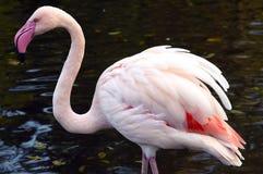 чилийский фламинго Стоковые Фото