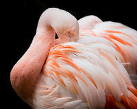 Чилийский фламинго VI Стоковая Фотография RF