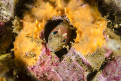 Чилийский blenny мидии Стоковое Изображение RF