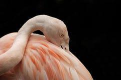Чилийское agaist фламингоа (chilensis Phoenicopterus) Стоковые Фотографии RF