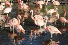Чилийское chilensis phoenicopterus фламинго Стоковое Фото