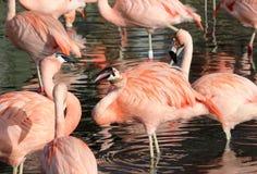 Чилийское chilensis phoenicopterus фламинго Стоковая Фотография RF