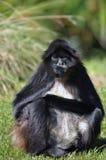чолумбийский спайдер обезьяны Стоковые Изображения RF