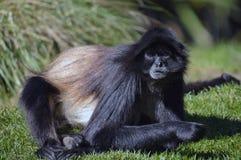 чолумбийский спайдер обезьяны Стоковое Изображение RF