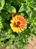 чолумбийский цветок дверных звоноков стоковые изображения