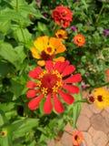 чолумбийский цветок дверных звоноков стоковые изображения rf