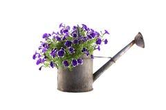 Чонсервная банка цинка моча с фиолетовыми петуньями Стоковые Изображения RF