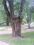 что делает это дерево настолько уникально Стоковое фото RF