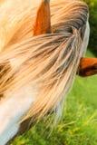 Чуб лошади Стоковые Изображения