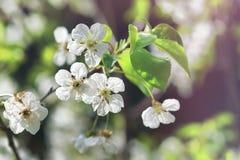 Чувствительная предпосылка весны с белыми вишневыми цветами Стоковое Изображение