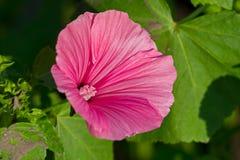 Чувствительное бледное - розовый цветок окруженный зелеными листьями Стоковое Изображение