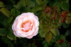 Чувствительной Роза покрашенное сливк стоковое изображение rf