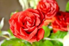 Чувствительно красная роза стоковое изображение