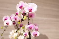 Чувствительные белые и розовые орхидеи на дисплее стоковые фотографии rf