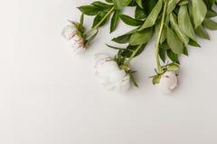 Чувствительные белые пионы на белой предпосылке стоковое изображение rf