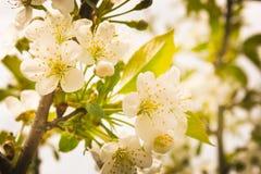 Чувствительные белые цветки вишни на заходе солнца цветки вишни на branc Стоковые Фотографии RF