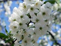 Чувствительные, душистые белые вишневые цвета Стоковая Фотография RF