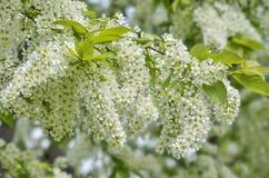 Чувствительные душистые белые цветорасположения цветя вишни птицы Стоковая Фотография RF