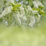 Чувствительные душистые белые цветорасположения цветя вишни птицы Стоковые Изображения