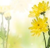 Чувствительные желтые хризантемы Стоковая Фотография
