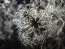 Чувствительные и пушистые белые семена vitalba Clematis Серия голов создает влияние снега стоковая фотография