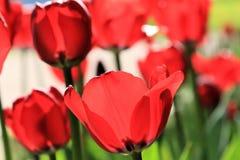 Чувствительные красные тюльпаны прозрачные к лучам солнца стоковые фотографии rf