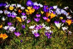 Чувствительные красочные штопоры растя в теплой весне греют на солнце amo Стоковая Фотография RF