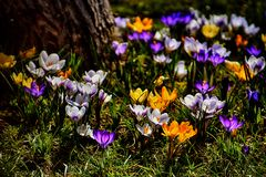 Чувствительные красочные штопоры растя в теплой весне греют на солнце amo Стоковое фото RF