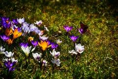 Чувствительные красочные штопоры растя в теплой весне греют на солнце amo Стоковые Изображения RF