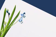 Чувствительные нежные первоцветы Siberica Scilla, сибирский squill, конца-вверх спаржевые семьи цветкового растения на свете Стоковые Изображения RF