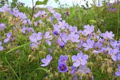 Чувствительные полевые цветки растут в зеленой траве стоковое изображение