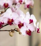 Чувствительные розовые орхидеи на дисплее стоковые изображения