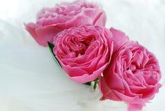 чувствительные розовые розы стоковые изображения