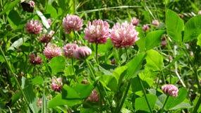 Чувствительные розовые цветения клевера в свежей зеленой траве стоковая фотография