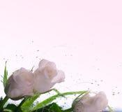 чувствительные розы Стоковая Фотография RF