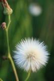 чувствительные семена Стоковое Изображение