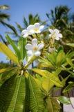 чувствительные цветки белые Стоковое Изображение RF