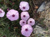 чувствительные цветки лиловые стоковое фото
