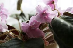 Чувствительные цветки макроса стоковое изображение rf