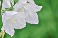 Чувствительный белый колокольчик цветет с капельками воды росы Стоковое фото RF