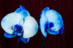 Чувствительный белый цветок орхидеи на ветви Стоковое фото RF
