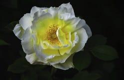 Чувствительный желтый цвет лепестков белой розы от середины Стоковое фото RF