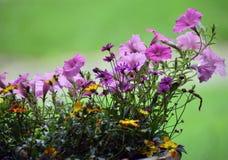 чувствительный пурпур цветка стоковое изображение rf
