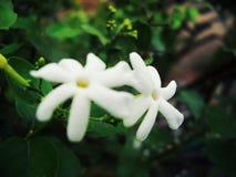 2 чувствительных белых цветка стоковое фото rf