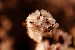 Чувствительная белая весна цветет на абрикосе на солнечный день Стоковые Изображения RF