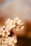 Чувствительная белая весна цветет на абрикосе на солнечный день Стоковые Фото