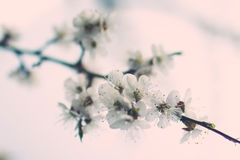Чувствительная белая весна цветет на абрикосе на солнечный день Стоковое фото RF