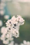 Чувствительная белая весна цветет на абрикосе на солнечный день Стоковое Фото