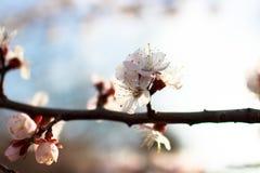 Чувствительная белая весна цветет на абрикосе на солнечный день Стоковая Фотография